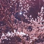 今年も桜の季節がやってきた!第31回中野通り桜まつりが新井薬師公園にて行われます!(4月7日〜9日まで)